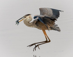 Now to enjoy lunch (tresed47) Tags: 2018 201808aug 20180806bombayhookbirds august birds bombayhook canon7dmkii content delaware folder greatblueheron heron peterscamera petersphotos places season summer takenby us