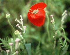 Canta la tierra como un grillo  entre la música celeste?- Neruda (Lewitus) Tags: neruda hasselblad500c scannedslide poppies cricket red green
