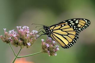 015A0053 Monarch Butterfly