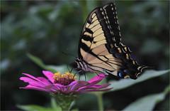 Eastern Tiger Swallowtail (ioensis) Tags: easterntigerswallowtail butterfly papiloglaucus macro swallowtail zinnia webstergroves missouri mo jdl ioensis august 2018