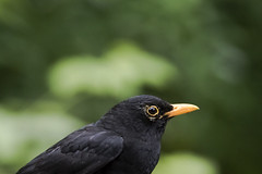 Blackbird (jamesdewar99) Tags: blackbird garden birds nature portrait green canon wildlife uk