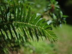 Fern (bamboosage) Tags: meyeroptik oreston 1850 m42