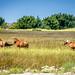 Feral Horses on Shackleford Banks