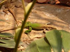 Lizard Reptile Gardens Rapid City SD (MisterQque) Tags: rapidcitysd southdakota dakotas zoo zoos zoosofnorthamerica blackhills lizard