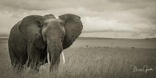 A Elephant at the wonderful Masai Mara