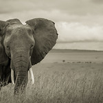 A Elephant at the wonderful Masai Mara thumbnail