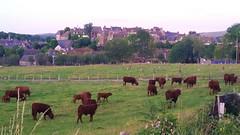 31 - Auvergne Salers (paspog) Tags: salers auvergen france august août 2018 vaches cows kühe