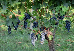 La stagione dell'uva.... (Eli.b.) Tags: uva vigna frutta fruits nature summer estate uvas raisins grappoli viti