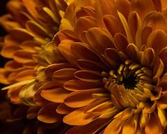 Golden Mum Detail 1108 (Tjerger) Tags: nature flower bloom blooming plant natural flora floral beautiful beauty black orange fall wisconsin macro closeup yellow mum detail golden gold