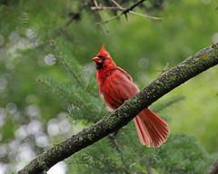 Spirit Bird (marylee.agnew) Tags: cardinal bird nature wildlife red spirit song trees