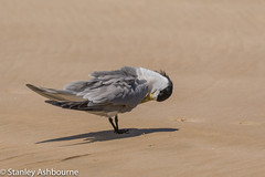 Greater Crested Tern (stanley.ashbourne) Tags: australia holiday greatercrestedtern brisbane wildlife nature