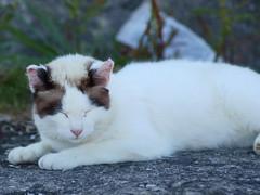 cat (upjohn_freak) Tags: cat chat katze kat kitten gatto gato
