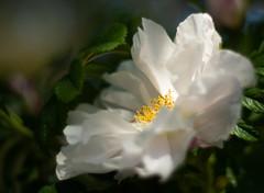 You Brought Me Flowers (Katrina Wright) Tags: dsc9813 flower white fluffy petals stamen pollen yellow dof macro