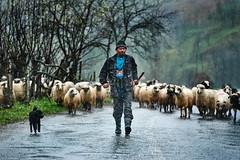 Either rain or wind. (Revoltatul) Tags: sheep shepherd rain