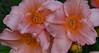 Crowd Shot (BKHagar *Kim*) Tags: bkhagar flower flowers lily lilies orange bright nature growing tanner al alabama momdads