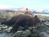 Alaska Brown Bear Hunt - Peninsula 7