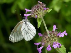 Groot geaderd witje (capreolus) Tags: grootgeaderdwitje blackveinedwhite aporiacrataegi butterflies insects macedonia