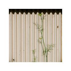 S VII (*TimeBeacon*) Tags: dill herb wall minimal minimalistic lines shadows plant tb corrugated