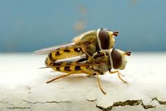 No Blabla (DirkVandeVelde back , and catching up) Tags: europa europ europe fauna frankrijk france buiten bercksurmer nordpasdecalais berck hoverfly sex insekt insects insect insekten biologie sony macro
