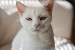 Charlie (rootcrop54) Tags: cc100 charlie white allwhite male oddeyes oddeyed heterochromia neko macska kedi 猫 kočka kissa γάτα köttur kucing gatto 고양이 kaķis katė katt katze katzen kot кошка mačka gatos maček kitteh chat ネコ cc600