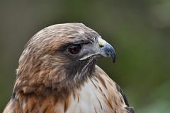 They call me Ivan (Marc Briggs) Tags: dsc27651cw redtailedhawk buteojamaicensis hawk raptor bird animal captive