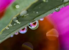 Dew Drops (Kevin Tataryn) Tags: drop water macro flower dew nikon d500 tokina 100mm reflection