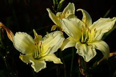 Yellow Beauty (Let Ideas Compete) Tags: flower flowers yellowflower summer delicate partsofaflower stigma pistil stamen flowerpetals