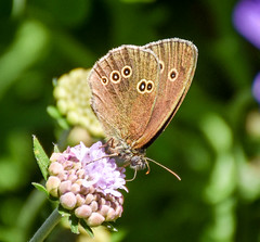 Speckled Wood, on Scabious (littlestschnauzer) Tags: speckled wood butterfly emley local wildlife yorkshire uk 2018 summer july june brown eyes wings patterned pettern nature insects scabious blue
