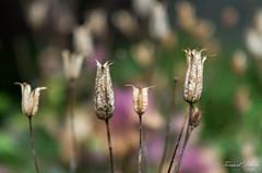 Ancolies fanées... (Tormod Dalen) Tags: voigtländer2040 jardin garden bokeh bokehlicious macro manualfocus voigtlander cv40