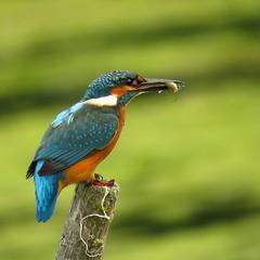 IJsvogel met visje 13 juli (_BieFeen) Tags: ijsvogel kingfisher bird canon zoom