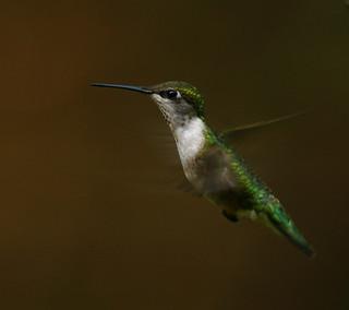 rubythroated-hummingbird-20