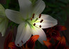 Surrounded by my buds (Patricia McAtee - Photos of Maine) Tags: lily woodlily whiteflower bouquet garden lilies
