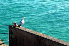 Seagull contemplating (scott_steelegreen) Tags: seagull sea brighton hove sussex south coast uk aqua blue wall seadefenses harbour marina
