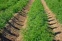 Hemp growing in Broadway Hemp's Harnett County field. (ncsuweb) Tags: harnettcounty hemp cals crop crops dirt row green plant plants farm farming field agriculture