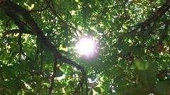 Horse Chestnut (Aesculus hippocastanum) - canopy in the sun - July 2018 (Exeter Trees UK) Tags: horse chestnut aesculus hippocastanum canopy sun july 2018
