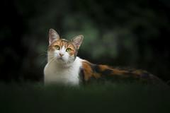Cicana (Katarina Drezga) Tags: cats cat catphotography petphotography pets nikond750 tamron70200vcg2 domesticcat
