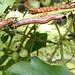 tent caterpillars on blueberry bush