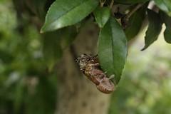 180720005 (murbozero) Tags: murbo japan cicada