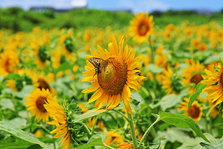 Sunflower field and butterflies