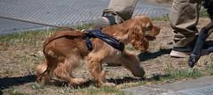 Little Doggie (Scott 97006) Tags: dog canine animal pet cute walk leash