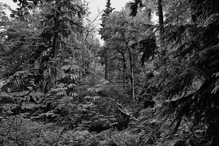 The Vibrant Greens of a Forest (Black & White)