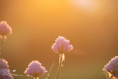Greater Things are Yet to Come (amndcook) Tags: photo alium backyard nature flower outdoor sun early michigan garden morning summer photograph macro outside season pink golden dawn outdoors sunlight farm spiritledphotography sunrise amandacook