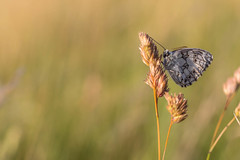 2018-06-16--Pagny0164.jpg (heiserge) Tags: france pagnylablanchecôte macro butterfly nature insectes meuse europe papillon lorraine macrophotographie animal animaux
