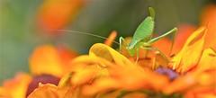 Enfin l'été ...? (BOILLON CHRISTOPHE) Tags: sauterelle photoboillonchristophe nikond4 chamonix france nature macro regard