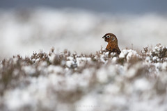 Red Grouse (JustinTheWild) Tags: redgrouse snow winter scotland highlands justinhoffmann justinthewild canon uk january cold heather bird