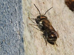 Osmia  cf caerulescens male (2ieme generation) (Iyp-tala) Tags: osmia caerulescens male 2ieme generation poteau vigne wild bee abeille sauvage doree