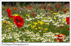 Summer Meadow (Paul Simpson Photography) Tags: lincolnshire poppy poppies flowers weeds flower nature farm field redflowers daisy daisies june2018 naturalworld sonya77 paulsimpsonphotography photosof photoof imagesof imageof flowerphotography summermeadow meadow meadows farming summerflowers coloursofsummer england uk colorsofsummer colourful colorful