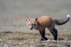 Furbaby # 10 in explore 21 June 2018 (Melanie Leeson) Tags: nature foxkit canadianwildlife melanieleesonwildlifephotography mammals nikon northamericanwildlife nikond500 dlsr mammalsofnorthamerica nikkor200500mm britishcolumbiawildlife redfox blingsister fox