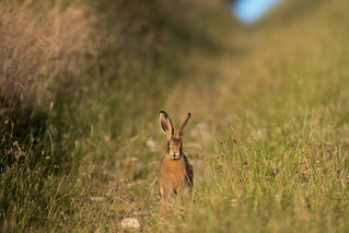 Hare today......270618_61-2.jpg