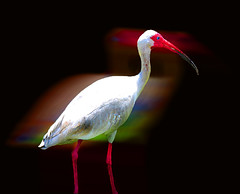 Ibis In The Morning ... (daystar297) Tags: ibis bird feather feathers birds nature wildlife color colors motion red florida manipulationfort piercetreasure coastphoto art nikon artistic